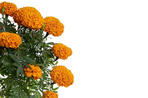 상단 및 흰색 배경에 텍스트를 위한 공간이 있는 cempasuchil 꽃