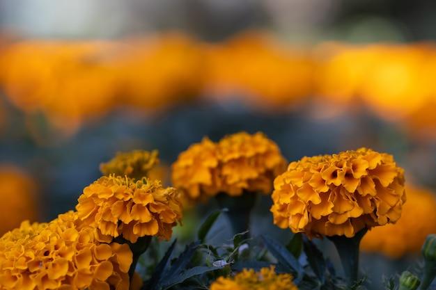 フィールドのセンジュギクの花がクローズアップ