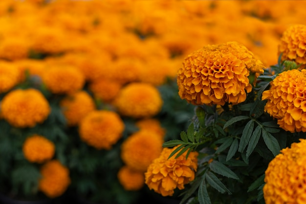 Cempasuchil yellow marigold flowers cempazúchitl for altars of day of the dead mexico