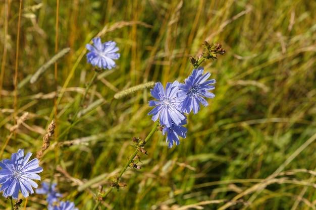 ヤグルマギク。緑の草の上の青い花