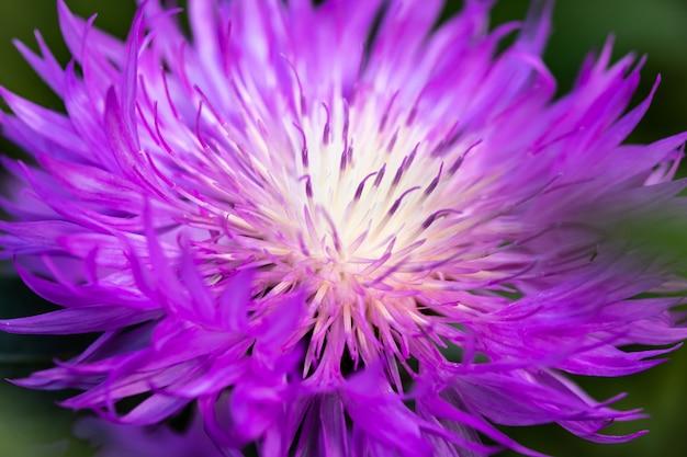 ケンタウレアジャケア、紫の花の星形のクローズアップ、黒のヤマウズラのハイブリッド。マクロ写真。明るい質感、花の背景、夏の壁紙のコンセプト。