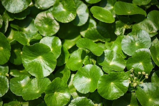 Centella asiatica leaves green nature leaf medical herb in the garden background