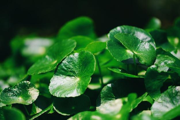 Центелла азиатская оставляет в саду зеленую траву.