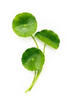 센텔라 아시아티카 잎은 흰색 배경에 격리되어 있습니다.