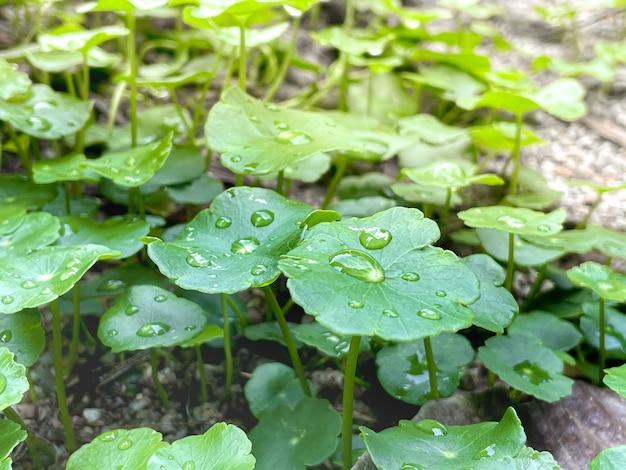 병풀(centella asiatica) 약용 성분이 있는 약용 식물