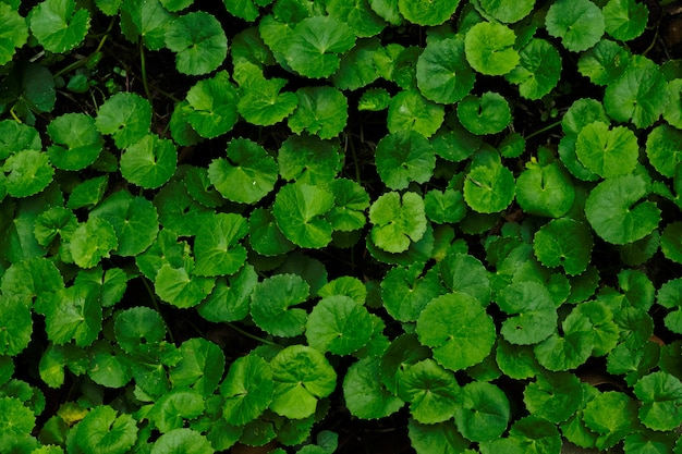 Centella asiatica top view
