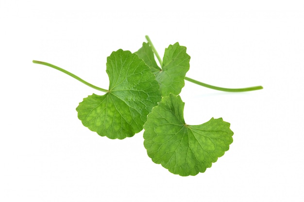 Centella asiatica  on white background.
