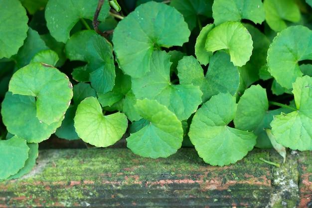 Centella asiaticaの葉