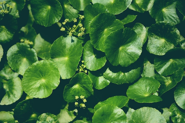 Centella asiaticaは庭で緑の自然葉メディカルハーブを残します
