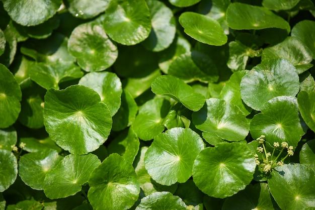 Centella asiaticaは庭の背景に緑の自然葉メディカルハーブを残します