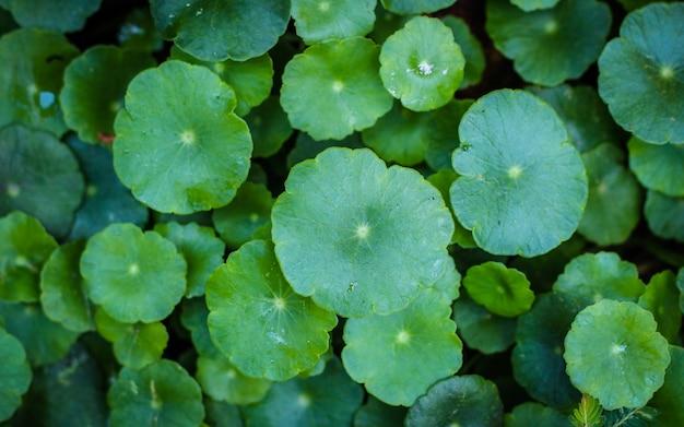 Centella asiaticaの美しい背景