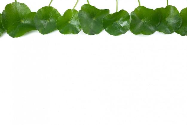 アジアの葉ハーブゴツコラ、インドペニーワート、centella asiatica、熱帯ハーブ