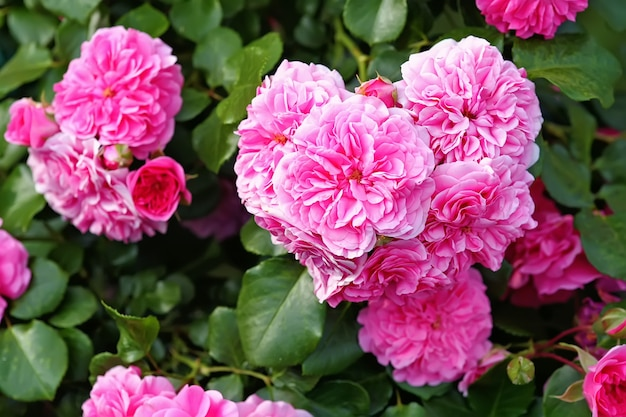 Centifolia roses, the provence rose or cabbage rose or rose de mai