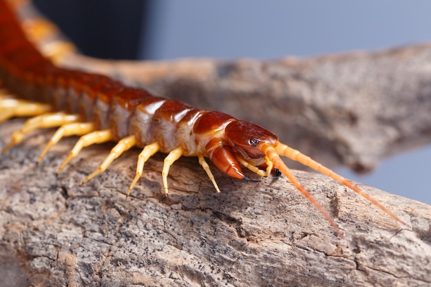 Centipede on the branch closeup detail