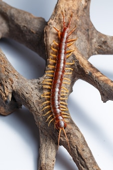 Centipede on the branch