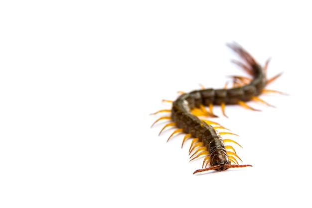 Centipede in front of white background, worm