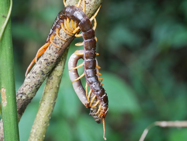 Centipede is eating a earthworm