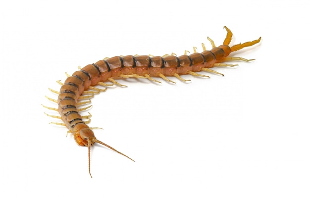 Free Vector | External anatomy of a millipede on white background