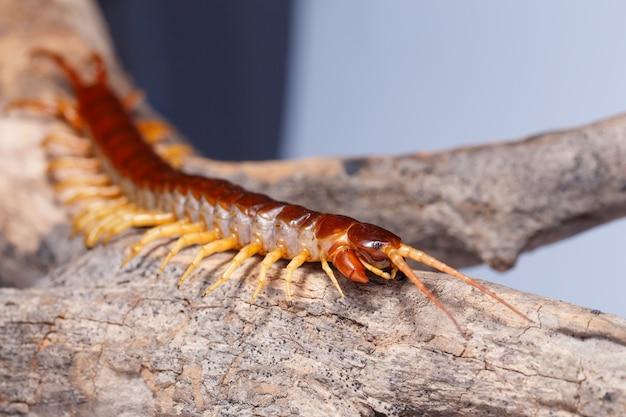 Centipede on tree branch