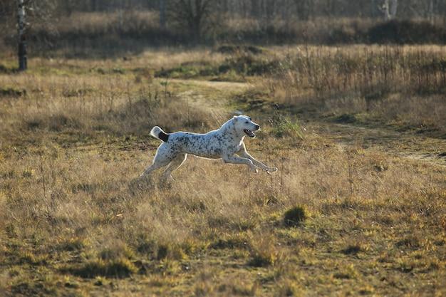 Среднеазиатская овчарка алабай гуляет по осеннему полю