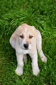 잔디에 외부 중앙 아시아 양치기 강아지