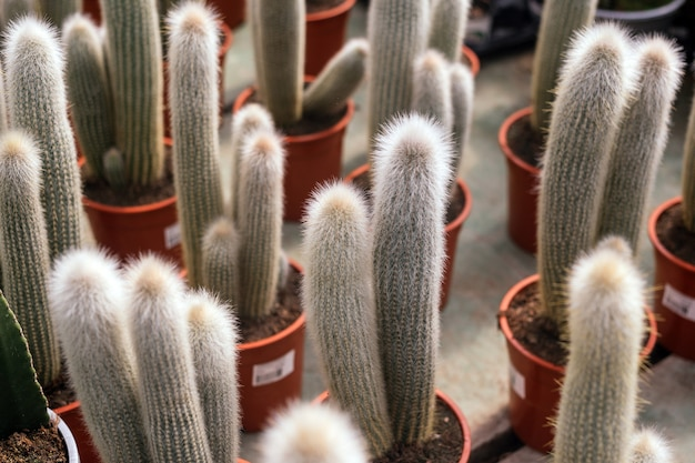 Cephalocereus senilis cactus plant at sale in a garden shop during spring