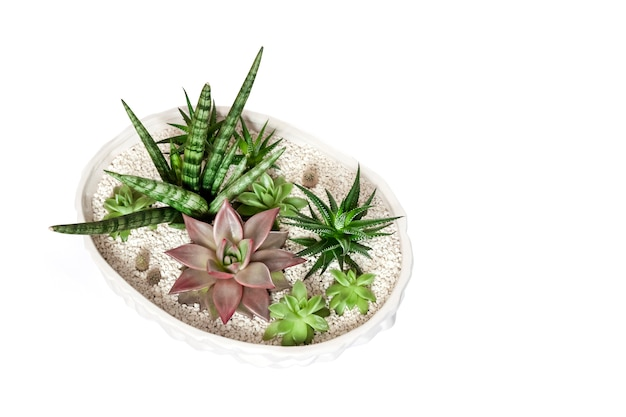 Ceramic white flower pot with variety of succulents isolated on white surface