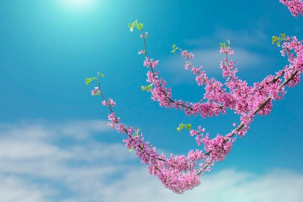 Cercis canadensisカナダの深紅色、青い空とピンクの花。