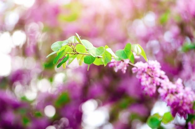 咲くユダの木。 cercis siliquastrum、カナデンシス、eastern redbud。