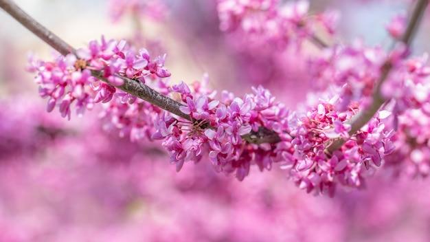 Cercisカナデンシスカナダの深紅、ピンクの花マクロ、