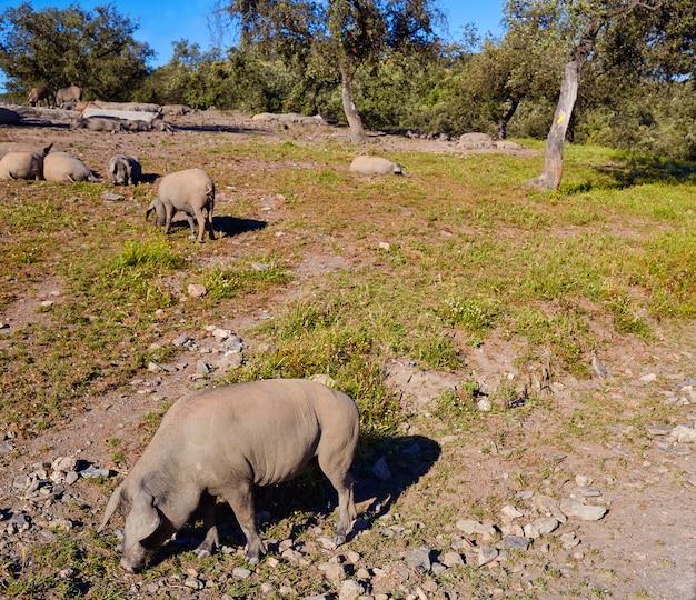 Cerdo iberico iberian pork in dehesa