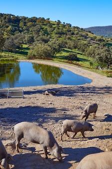 Dehesa의 cerdo iberico iberian 돼지 고기