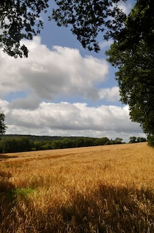 Cereal field in a bocage