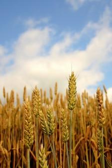 «зерновые, растущие на поле»