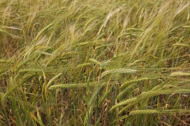 시리얼 호밀밭