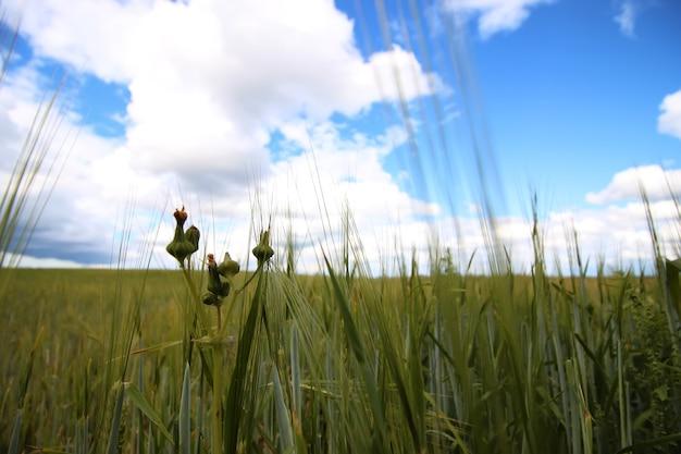 Зерновое ржаное поле