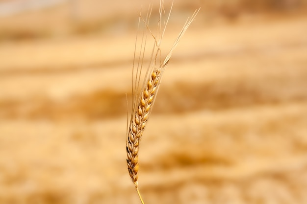 Cereal spike in wheat golden field