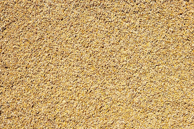 Cereal wheat grain texture background