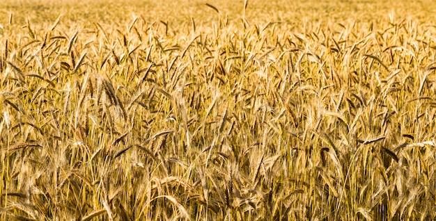 穀物を収穫するために熟す穀物