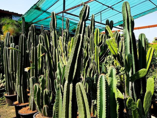 Mandacaru 또는 cardeiro로 알려진 선인장 농장의 cereus jamaru는 브라질에서 흔히 볼 수 있는 선인장입니다.