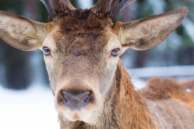 Мужской портрет благородного оленя cervus elaphus смотря близко вверх по портрету в зиме