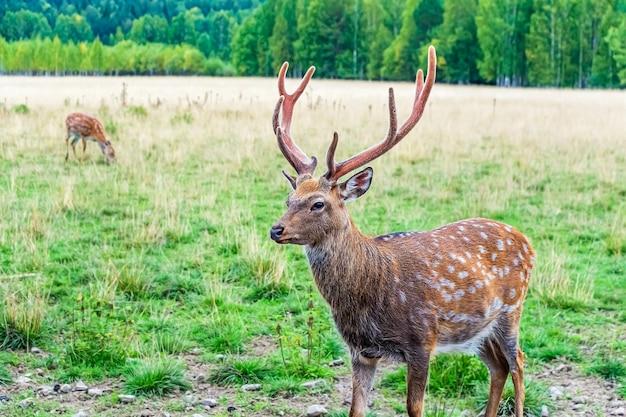 Cervus nippon, цветной пятнистый олень гуляет и кормится в лесу национального парка