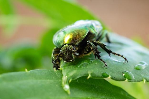 Cetonia aurata зеленый лист