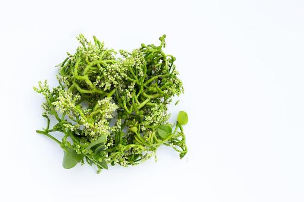 Цветок цейлонского шпината на белой поверхности