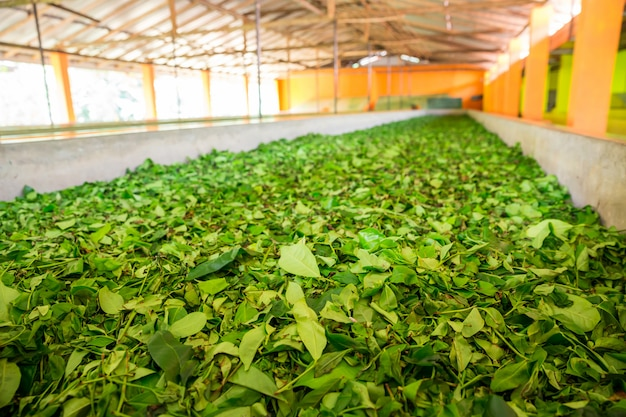 セイロン茶葉の乾燥工程。スリランカ工場