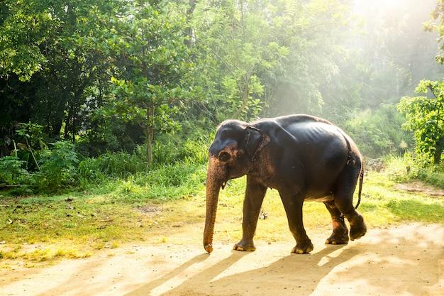 Цейлонский дикий слон в тропических джунглях. дикая природа шри-ланки