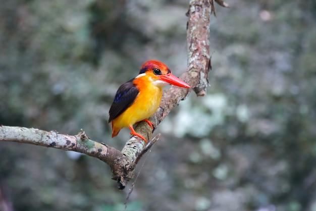 オリエンタルドワーフカワセミceyx erithacaタイの美しい鳥が木に止まった