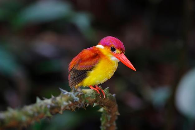 カワセミceyx rufidorsusタイの美しい鳥