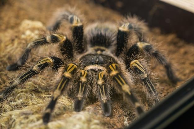 Чако тарантул золотого колена