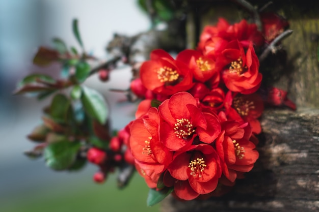 Chaenomeles japonica flowers in the foreground growing on a wood fence. chaenomeles japonica. lindl. ex. spach